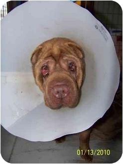 Shar Pei Dog for adoption in Hayden, Idaho - Roxy