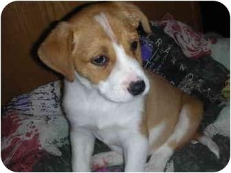 Labrador Retriever/St. Bernard Mix Puppy for adoption in Naperville, Illinois - Cody