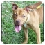 Photo 1 - American Pit Bull Terrier Puppy for adoption in Tampa, Florida - Autumn Rose