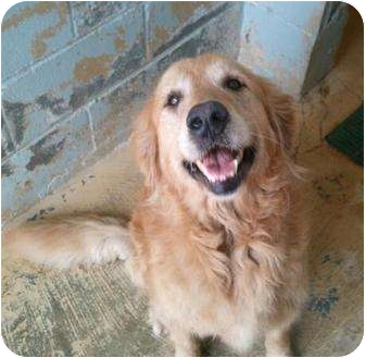 Golden Retriever Dog for adoption in New Canaan, Connecticut - Lilly
