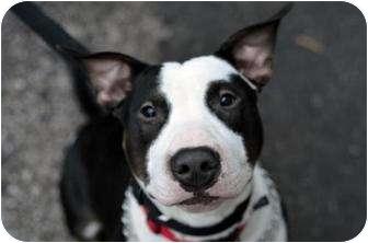 Bull Terrier Mix Dog for adoption in Hillsborough, New Jersey - Boris