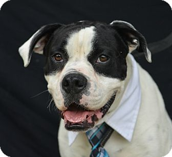 Boxer Mix Dog for adoption in Plano, Texas - Bruno