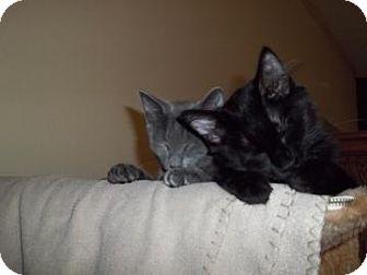 Russian Blue Kitten for adoption in Keller, Texas - Darcy