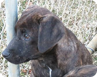 Labrador Retriever Mix Puppy for adoption in Naugatuck, Connecticut - Rebel