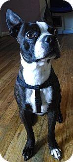 Boston Terrier Dog for adoption in Colorado Springs, Colorado - Elvis