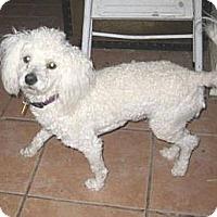 Adopt A Pet :: Boomer - Chandler, AZ