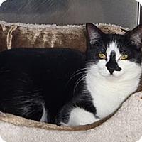 Adopt A Pet :: Katniss - St. Petersburg, FL