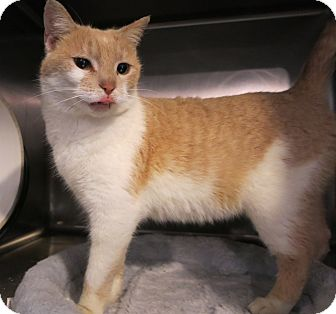 Domestic Shorthair Cat for adoption in Geneseo, Illinois - Farina