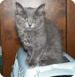 Domestic Longhair Kitten for adoption in Dover, Ohio - Katie