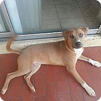 Adopt A Pet :: Cerro - Miami, FL