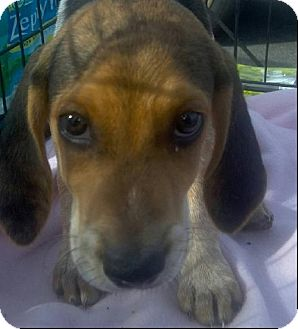 Beagle Puppy for adoption in New Smyrna beach, Florida - BEAGLE PUPS