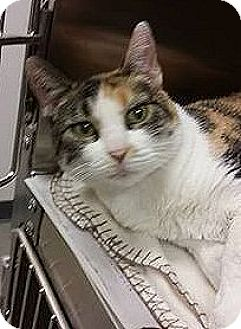 Calico Cat for adoption in Fairview Heights, Illinois - Lil Bit
