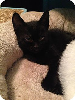 Domestic Shorthair Cat for adoption in Charlotte, North Carolina - A..  Guinness