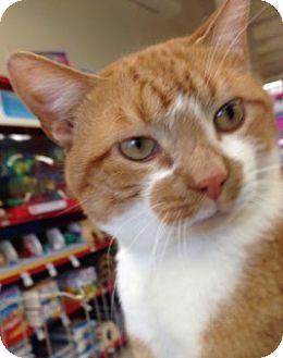 Domestic Shorthair Cat for adoption in Hillside, Illinois - Josh - CURIOUS KITTY