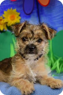 Chihuahua Mix Puppy for adoption in Bradenton, Florida - Piglet