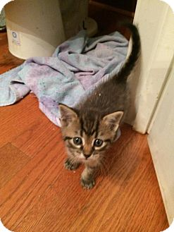 Domestic Shorthair Kitten for adoption in Woodstock, Georgia - Sprout