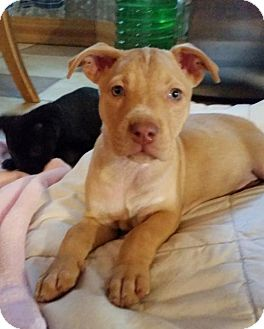 American Staffordshire Terrier/Labrador Retriever Mix Puppy for adoption in Von Ormy, Texas - RUBY
