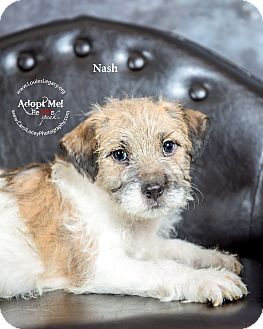 Jack Russell Terrier/Yorkie, Yorkshire Terrier Mix Puppy for adoption in Cincinnati, Ohio - Nash