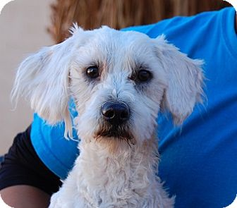 Poodle (Toy or Tea Cup) Mix Dog for adoption in Las Vegas, Nevada - Lynyrd