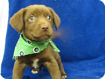 Labrador Retriever Mix Puppy for adoption in Groton, Massachusetts - Reno