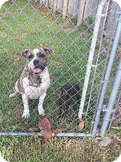 Chihuahua Mix Dog for adoption in Ocean Ridge, Florida - Mama & Zena