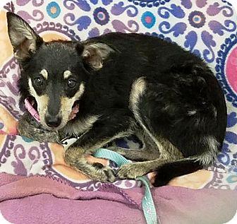 Chihuahua Mix Dog for adoption in Kalamazoo, Michigan - Serendipity