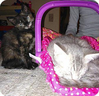 Domestic Shorthair Cat for adoption in Parkton, North Carolina - Cali and Ashley
