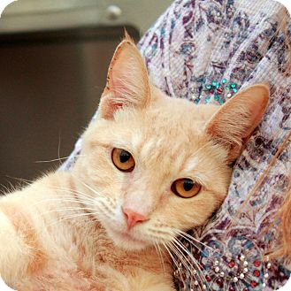 Domestic Shorthair Cat for adoption in Las Vegas, Nevada - Julius