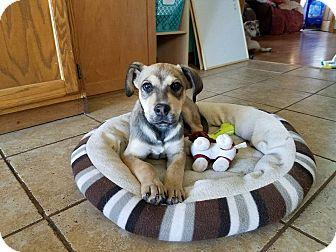 Shepherd (Unknown Type) Mix Puppy for adoption in DeForest, Wisconsin - Sulu