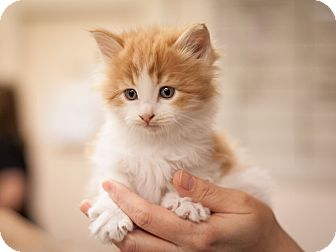 Domestic Shorthair Kitten for adoption in Dallas, Texas - Waffles