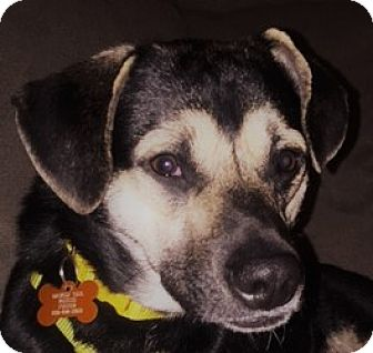 Mixed Breed (Medium)/Shepherd (Unknown Type) Mix Dog for adoption in Worcester, Massachusetts - Bozo
