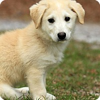 Adopt A Pet :: Scottie 💙 ADOPTED! - Saratoga Springs, NY