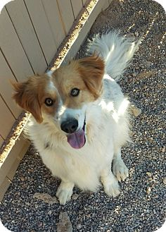 Collie Mix Dog for adoption in Apache Junction, Arizona - Scruffy