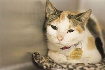 Calico Cat for adoption in Mountain Home, Arkansas - Dandelion