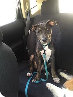 Pit Bull Terrier Puppy for adoption in Pinellas Park, Florida - Leo