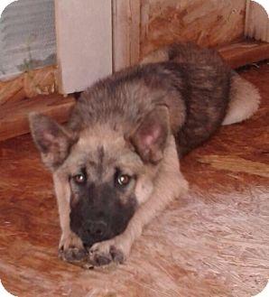 German Shepherd Dog Mix Dog for adoption in Tucson, Arizona - Brandy