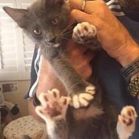 Adopt A Pet :: Percy - Palm Desert, CA