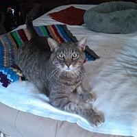 Adopt A Pet :: Courtesy Post: Gray Boy - Middletown, NY