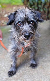 Cairn Terrier/Terrier (Unknown Type, Small) Mix Dog for adoption in Allentown, Pennsylvania - Sheva
