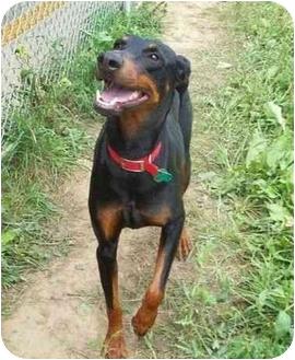 Doberman Pinscher Dog for adoption in New Richmond, Ohio - Pixie--adopted!!