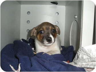 "Jack Russell Terrier Mix Puppy for adoption in MARION, Virginia - ""Jackson"""
