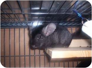 Chinchilla for adoption in Avondale, Louisiana - Morgan