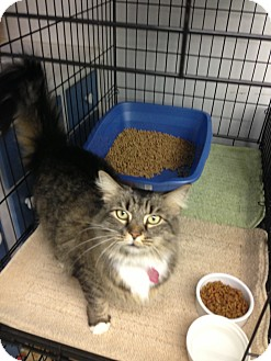 Maine Coon Cat for adoption in Aiken, South Carolina - River