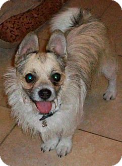 Pug/Terrier (Unknown Type, Small) Mix Dog for adoption in Studio City, California - Sparky