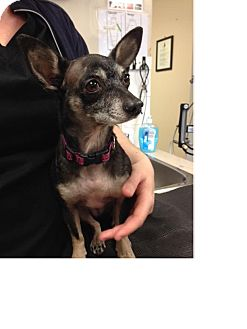 Chihuahua Dog for adoption in Nanaimo, British Columbia - Katy