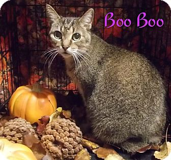 Domestic Shorthair Cat for adoption in Ocean Springs, Mississippi - Boo Boo