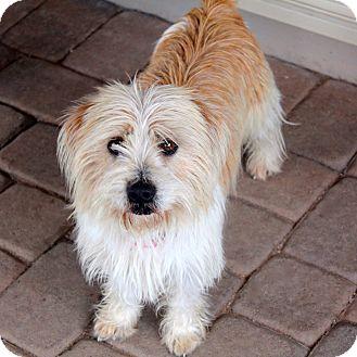 Petit Basset Griffon Vendeen/Shih Tzu Mix Dog for adoption in Phoenix, Arizona - Tinsel