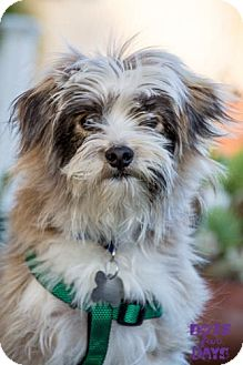 Tibetan Terrier/Terrier (Unknown Type, Small) Mix Dog for adoption in San Diego, California - Andy