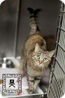 "American Shorthair Cat for adoption in Fredericksburg, Virginia - Meli"""
