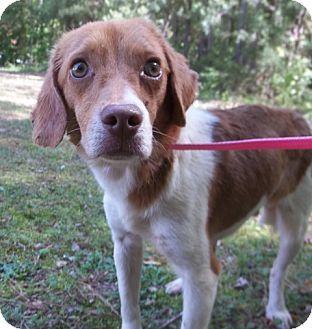 Beagle Mix Dog for adoption in Warrenton, North Carolina - Milo